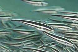 BD-151226-Dauin-0258-Plotosus-lineatus-(Thunberg.-1787)-[Striped-eel-catfish.-Korallmal].jpg